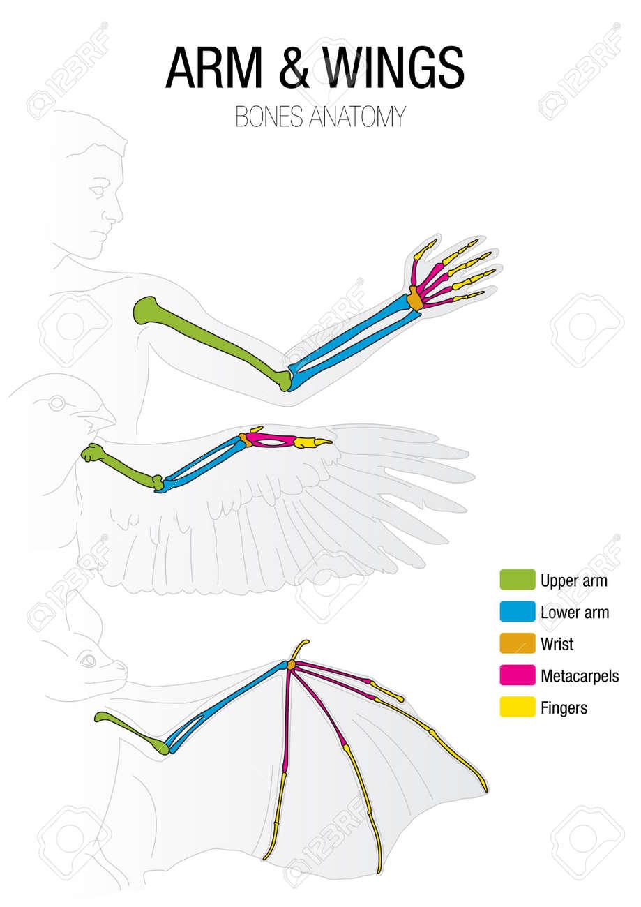 Contemporary Bird Wing Anatomy Diagram Photos - Human Anatomy Images ...