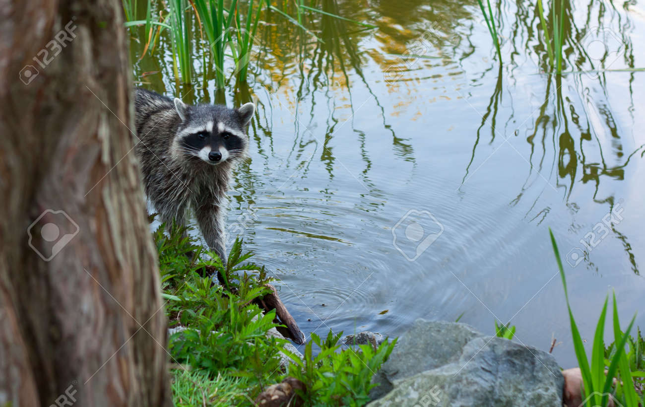 Racoon in the brush on the lake - 14798817