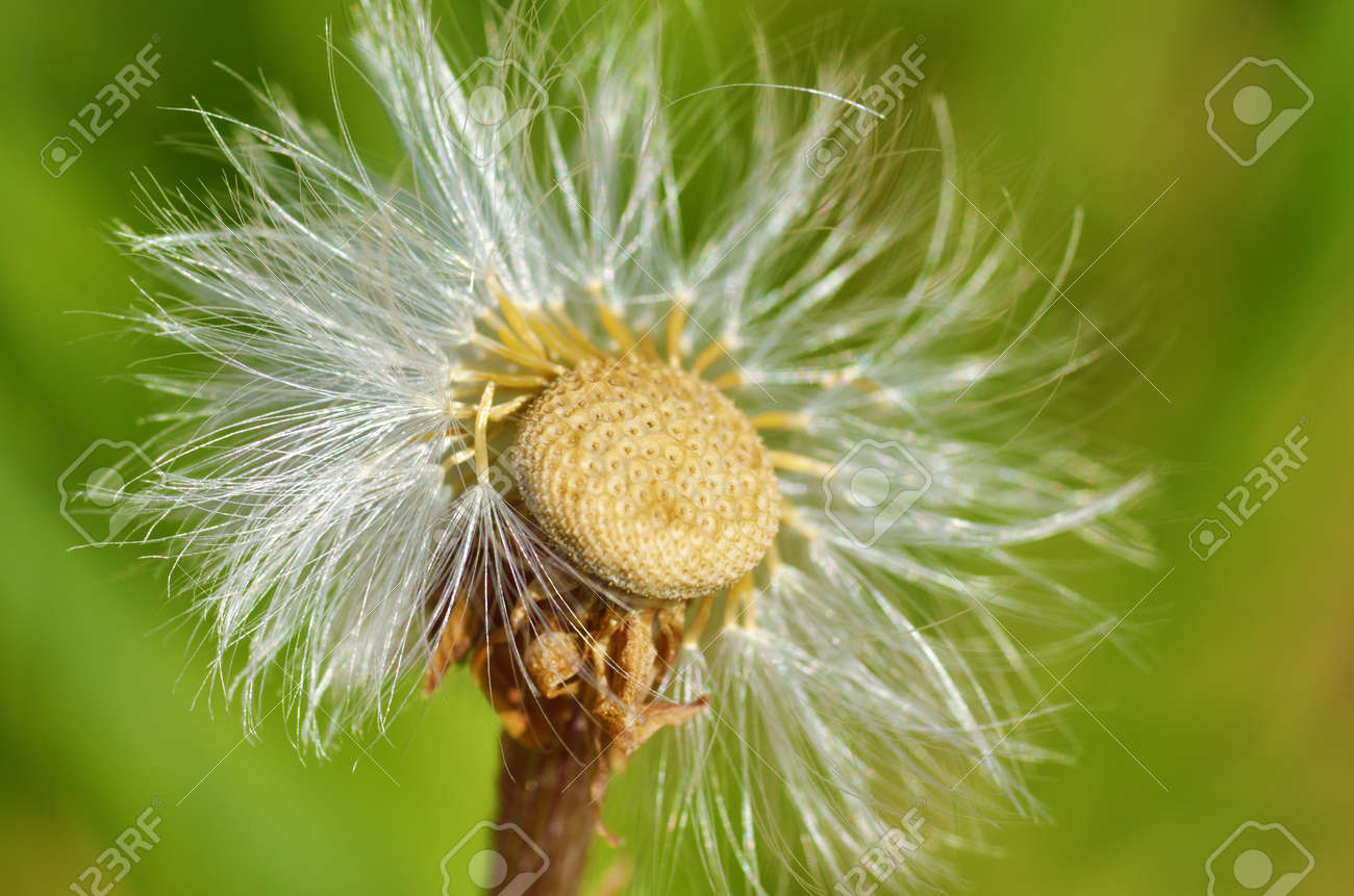 Faded dandelions in late spring they turn into white round stock they turn into white round flowers stock photo mightylinksfo