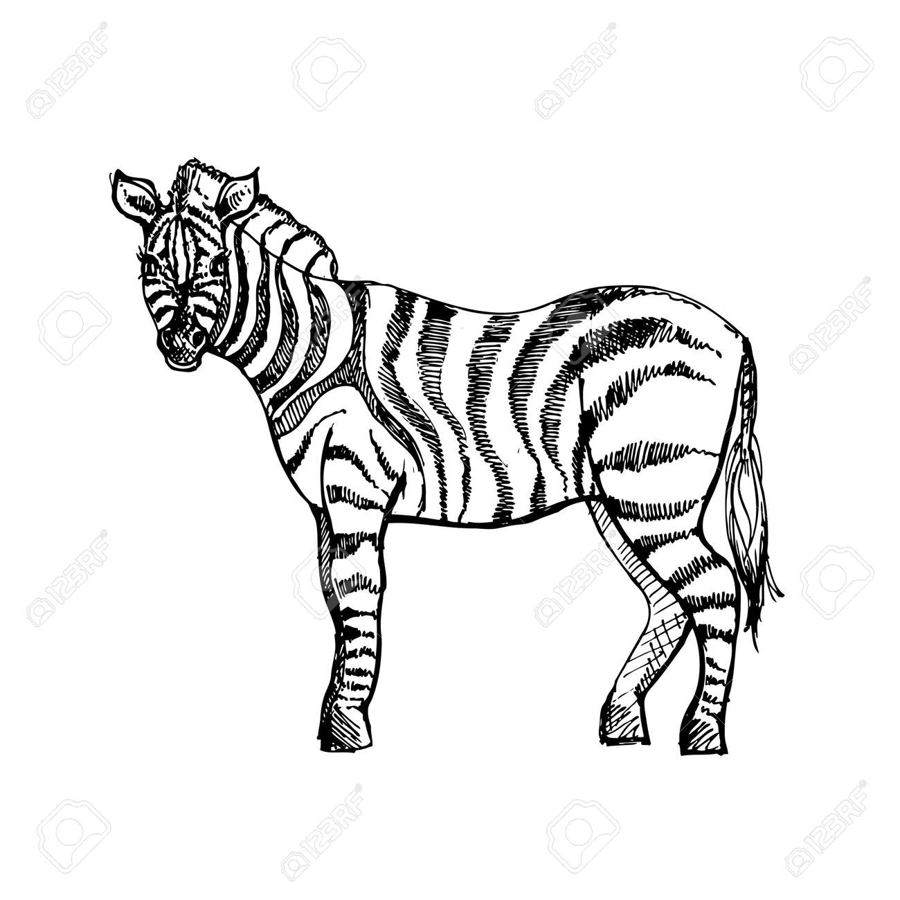 Hand Drawn Ink Zebra On White Background Coloring Page