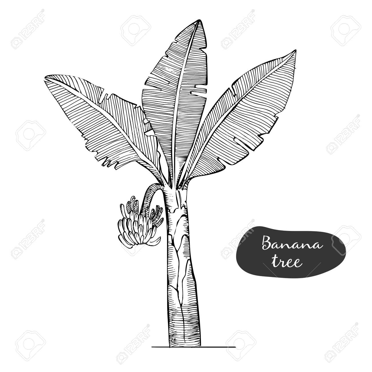 Banana Tree Sketch Illustration Detailed Botanical Style Sketch Royalty Free Cliparts Vectors And Stock Illustration Image 124943250