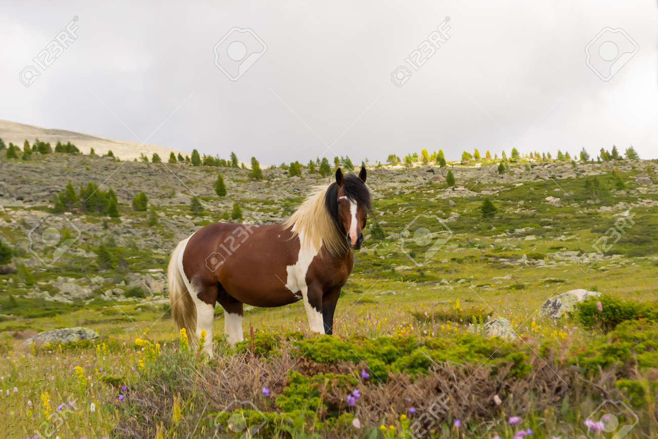 A large strong horse of brown and white color stands in the middle of the mountains with rocks and green grass looking forward with a white fluffy mane against the background of gray clouds and trees - 108966155
