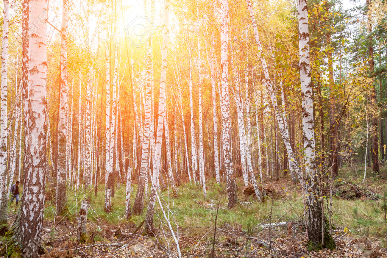 Birch forest with white trunks and yellow leaves before falling leaves in autumn. scenic landscape for wallpaper or background - 168997414