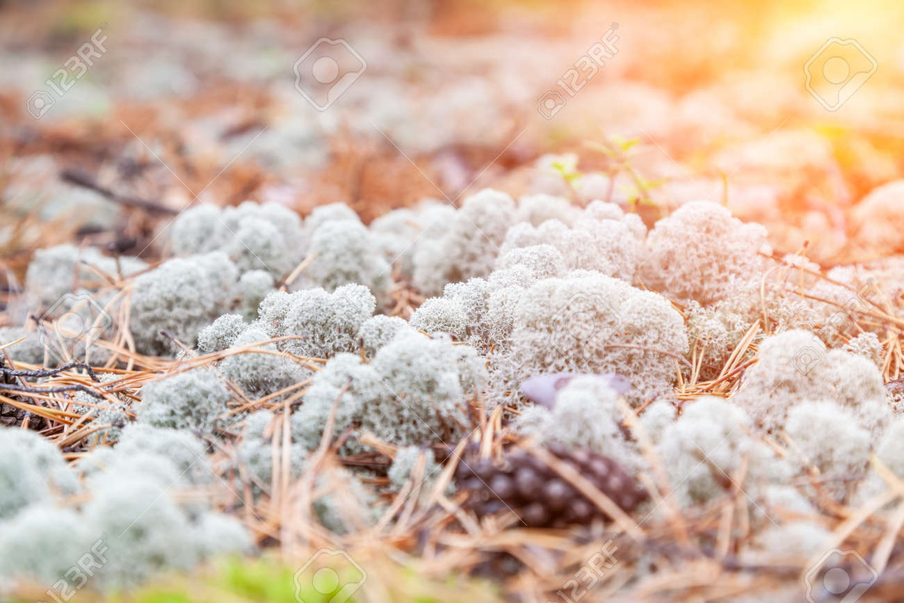 close-up on blue moss on the ground in the forest among the grass and and trees. Natural decorative materials for interior design. - 169051332