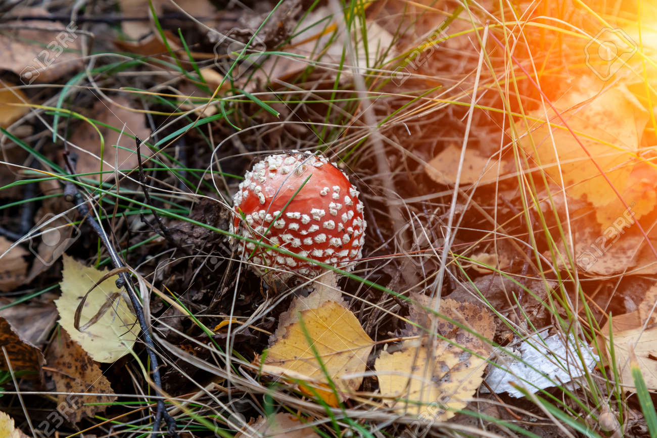 A close-up of a fly agaric amanita mushroom with a white cap hidden among the autumn leaves and spruce needles fallen from the trees. Food and mushroom picking. poisonous and harmful mushrooms - 169051335