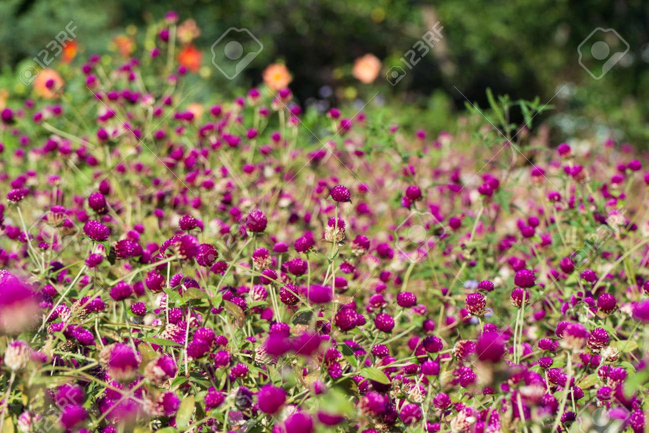 Clover glade in the Botanical Garden near Batumi, Georgia. - 77010412