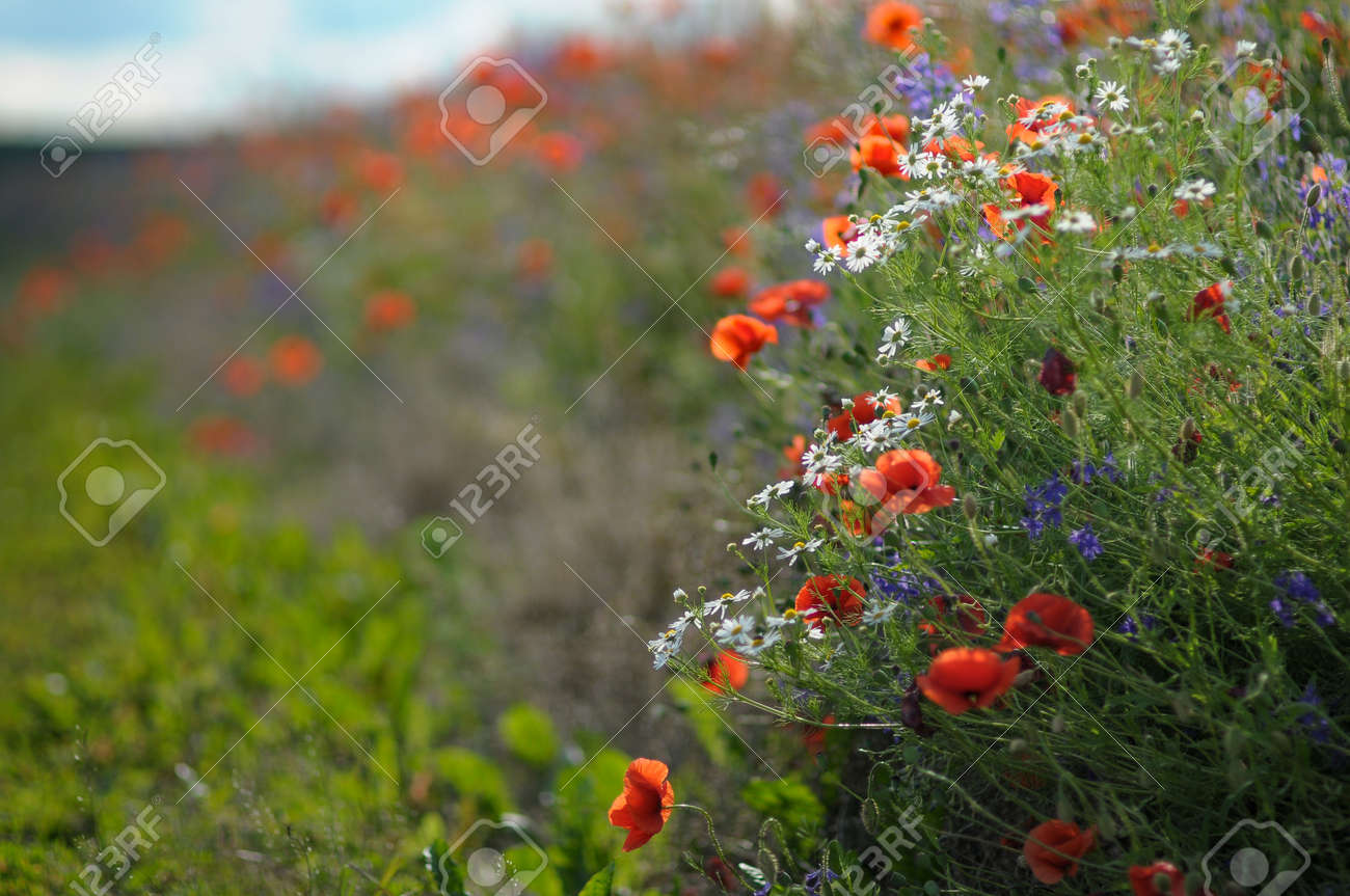 Wild flowers daisies and poppies along field paths stock photo stock photo wild flowers daisies and poppies along field paths izmirmasajfo