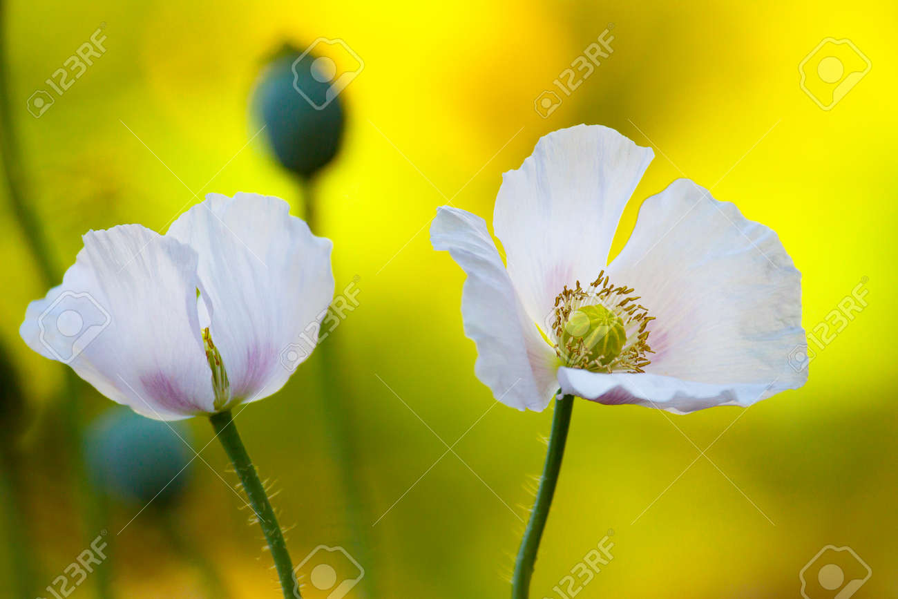 Opium poppy flowers stock photo picture and royalty free image opium poppy flowers stock photo 93645246 mightylinksfo