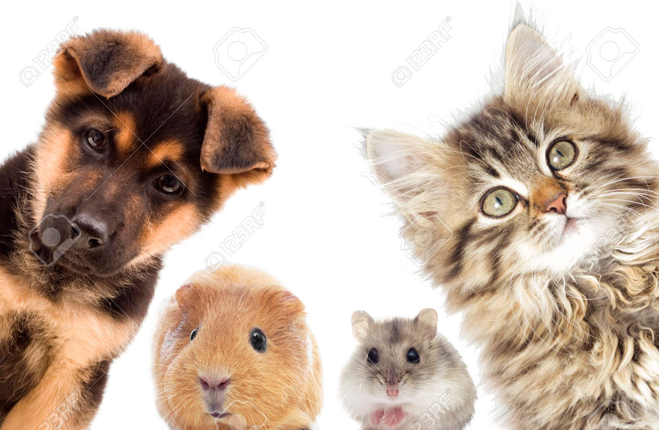 Puppy and kitten and guinea pig - 60185349