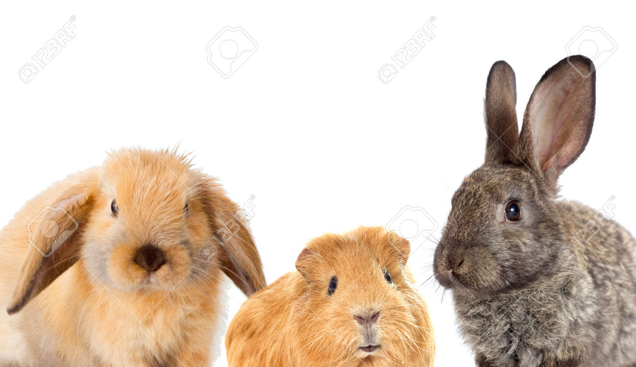 set of rodents, rabbit and guinea pig - 60185416