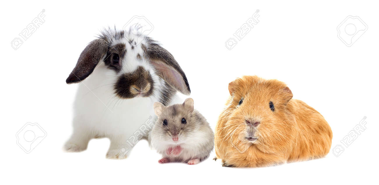 rabbit and the hamster and guinea pig looks - 60190199