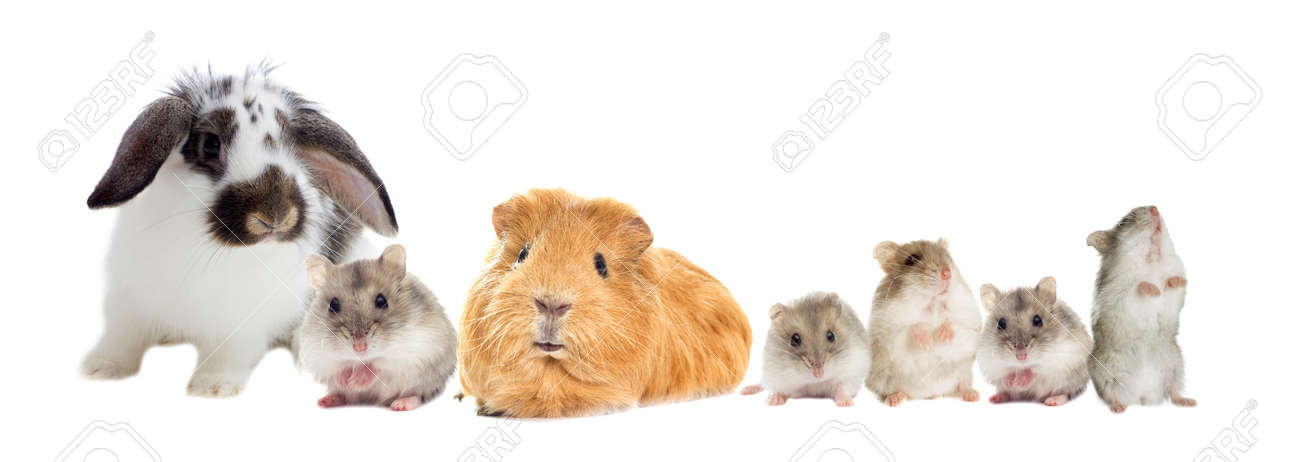 rabbit and the hamster and guinea pig looks - 60190203