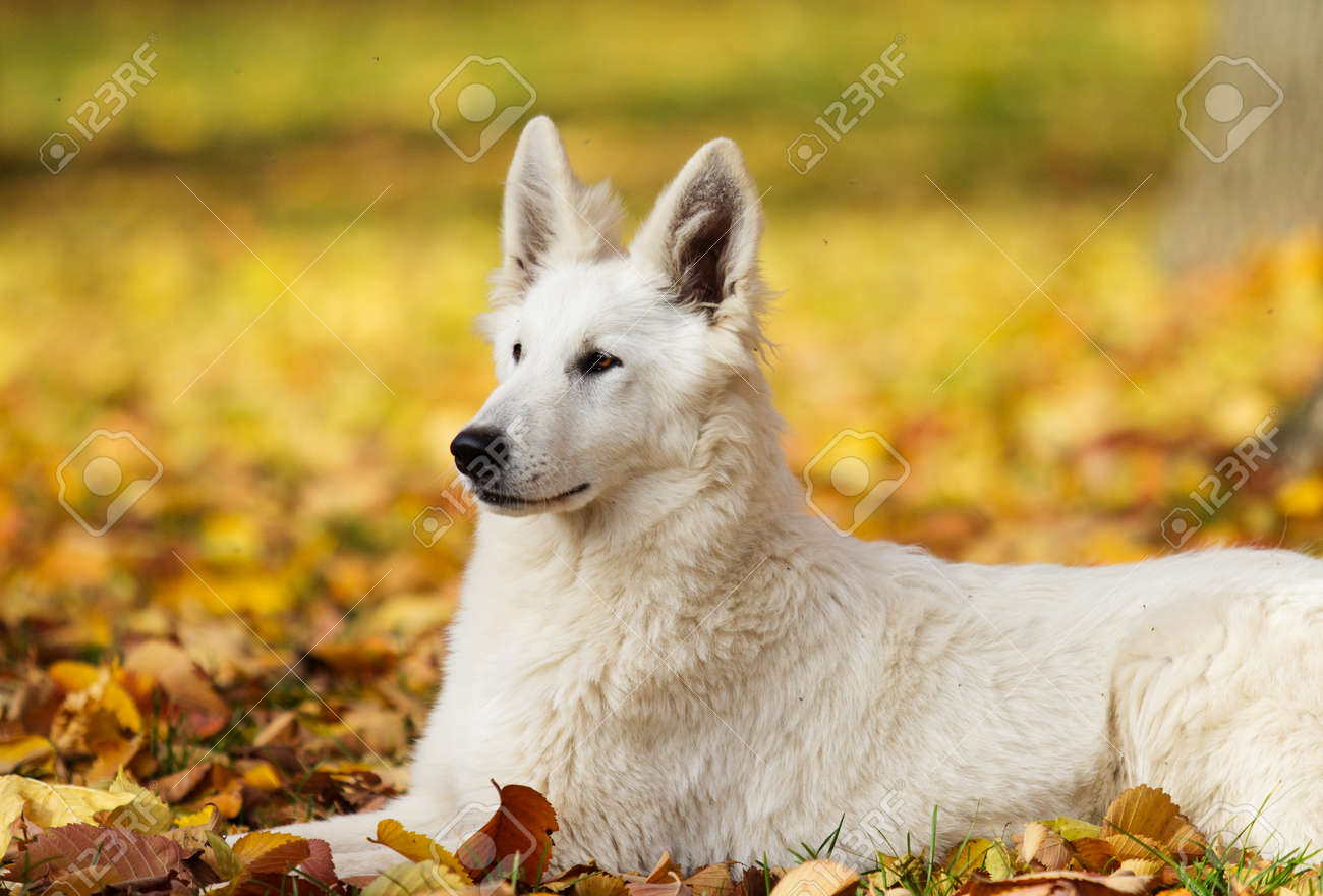 white Swiss Shepherd dog on an autumn walk - 89495879