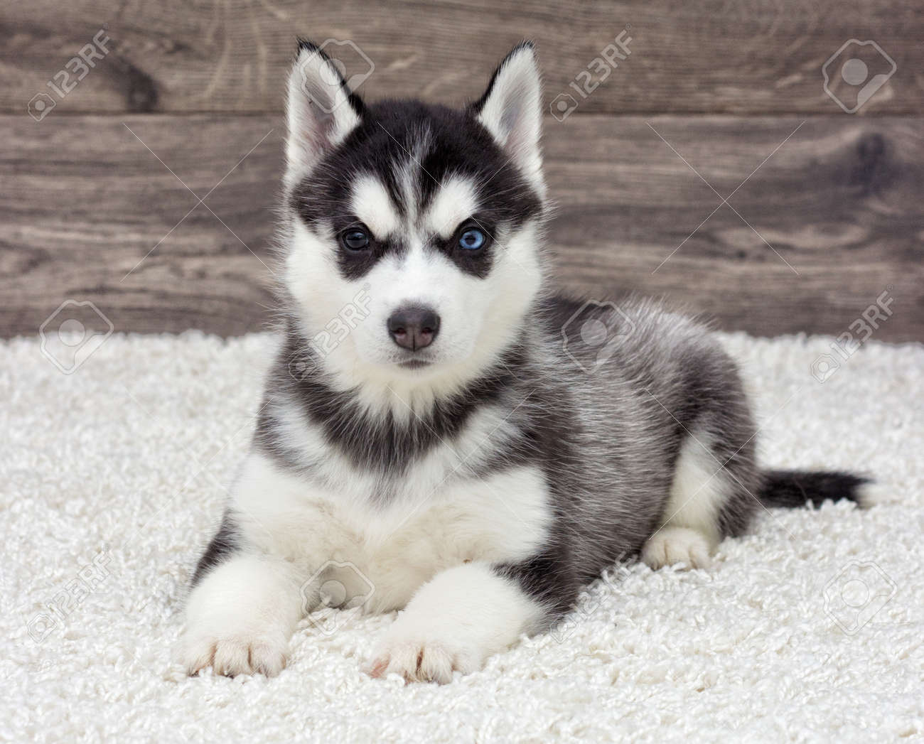 Siberian Husky Puppy Looking Stock Photo Picture And Royalty Free