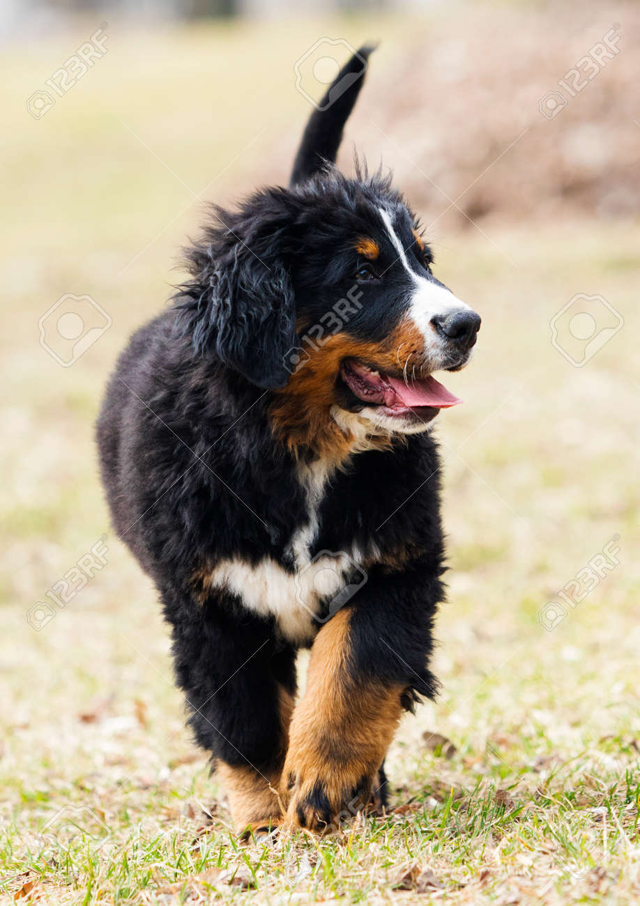 Bernese Mountain Dog Puppy For A Walk Stock Photo Picture And Royalty Free Image Image 119868980