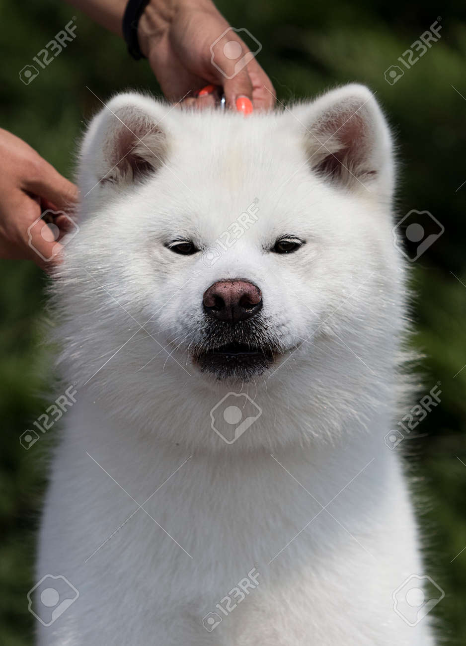 White Dog Breed Japanese Akita Inu Outdoors Stock Photo Picture And Royalty Free Image Image 127819807