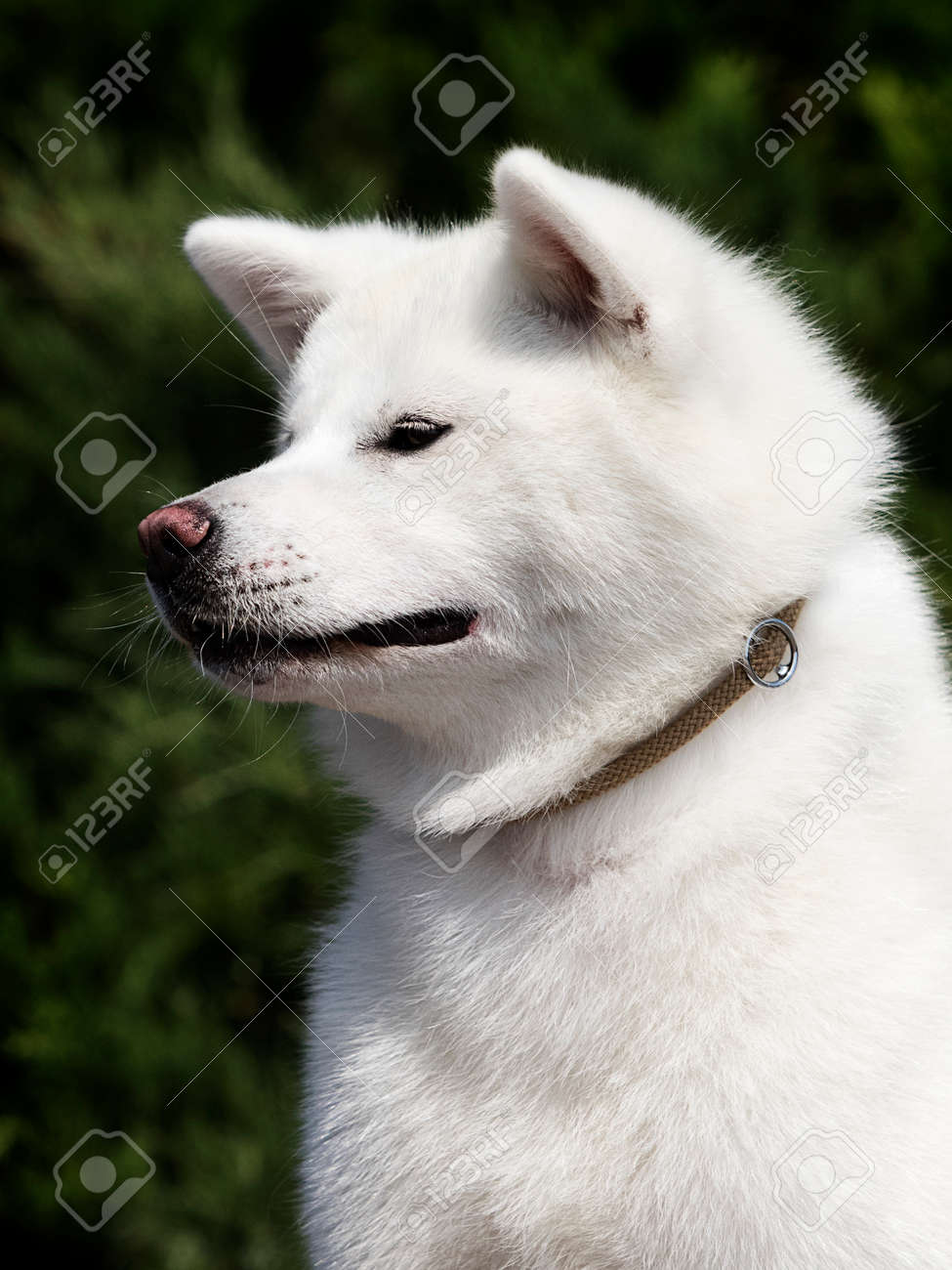 White Dog Breed Japanese Akita Inu Outdoors Stock Photo Picture And Royalty Free Image Image 127819839