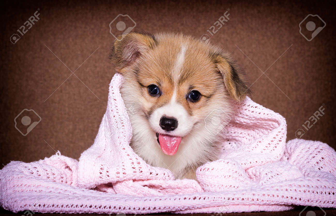 puppy lies on the couch, welsh corgi breed - 133296493