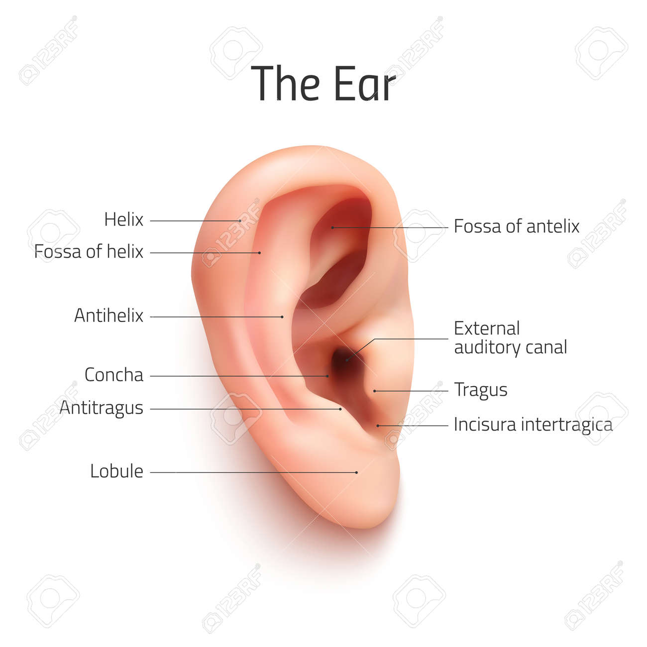 Realistic Infographic Ear Icon, Isolated On White Background ...