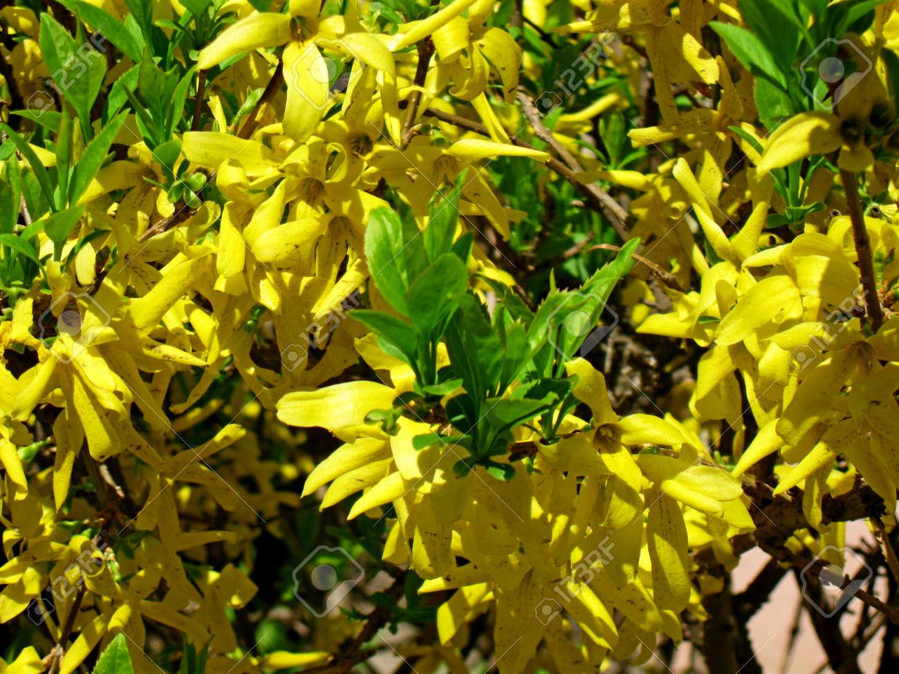 Arbusto A Fiori Gialli arbusto da fiore - pioggia dorata. molti fiori gialli vibranti, poca  profondità di campo.
