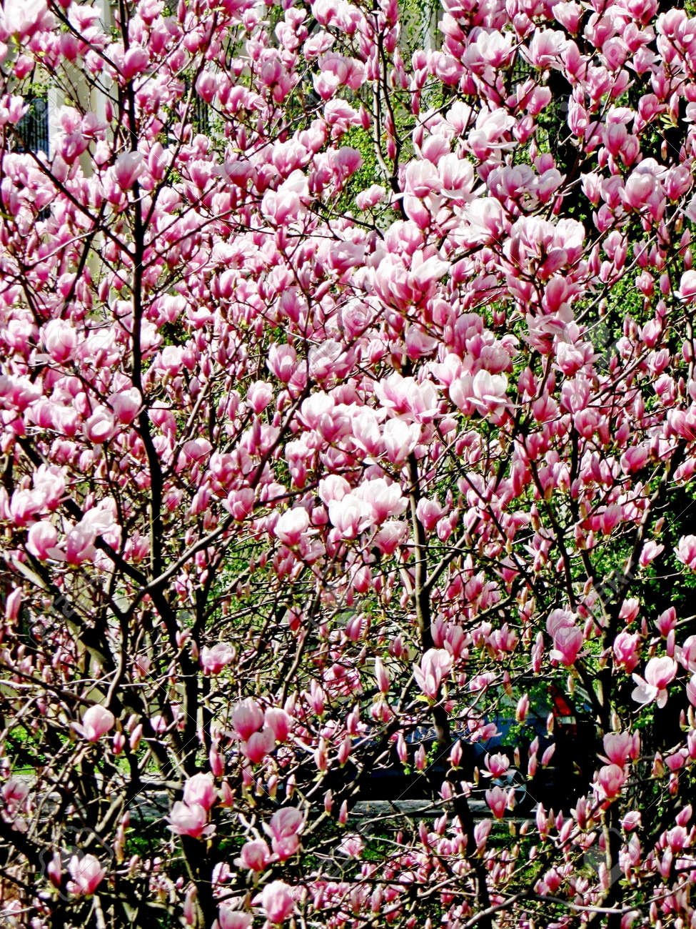 Bloomy magnolia tree with big pink flowers stock photo picture and bloomy magnolia tree with big pink flowers stock photo 75821270 mightylinksfo