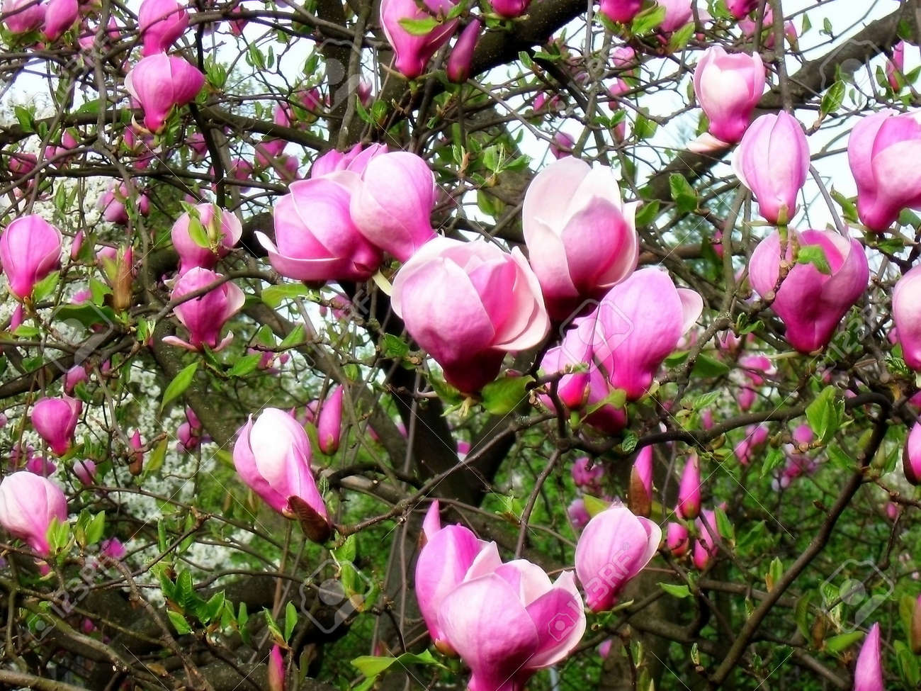 Bloomy Magnolia Tree With Pink Flowers Stock Photo Picture And