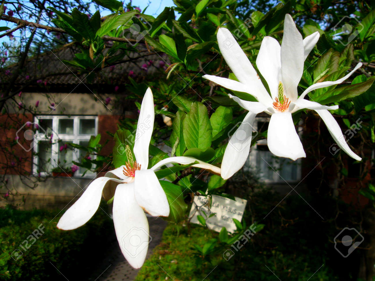 Bloomy magnolia tree with white flowers