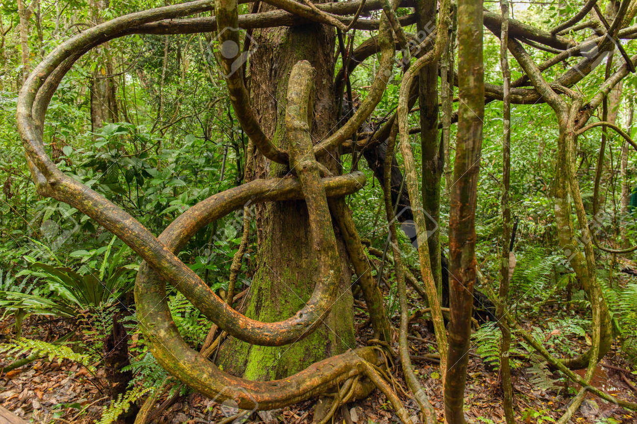 Tangled Lianas In The Tropical Jungle Rainforest Stock Photo Picture And Royalty Free Image Image 67107072