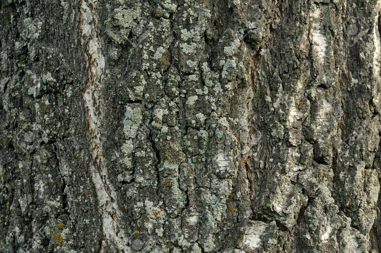 Closeup Macro Detail Of Old Aged Beautiful Oak Maple Tree Bark
