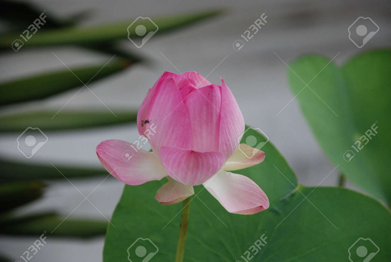 Blossomed Lotus Flower As A Symbol Of Buddhism Stock Photo Picture