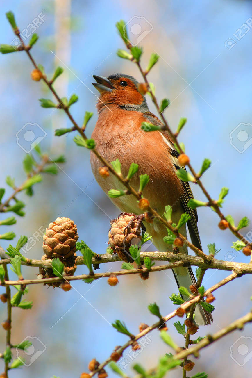 spring finch on a branch Stock Photo - 11804233