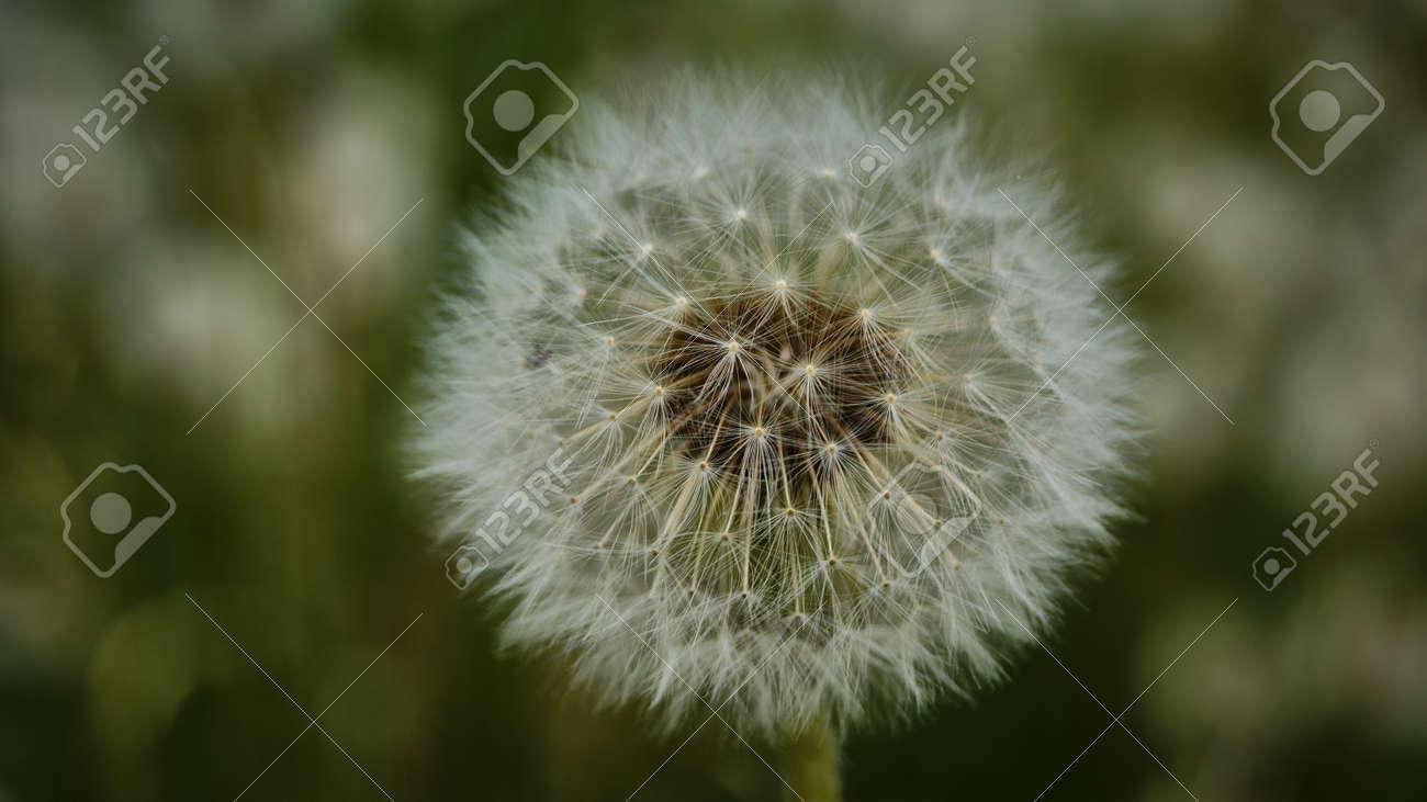 Fleur De Pissenlit Jaune Pissenlit Fanee Transformee En Une Boule