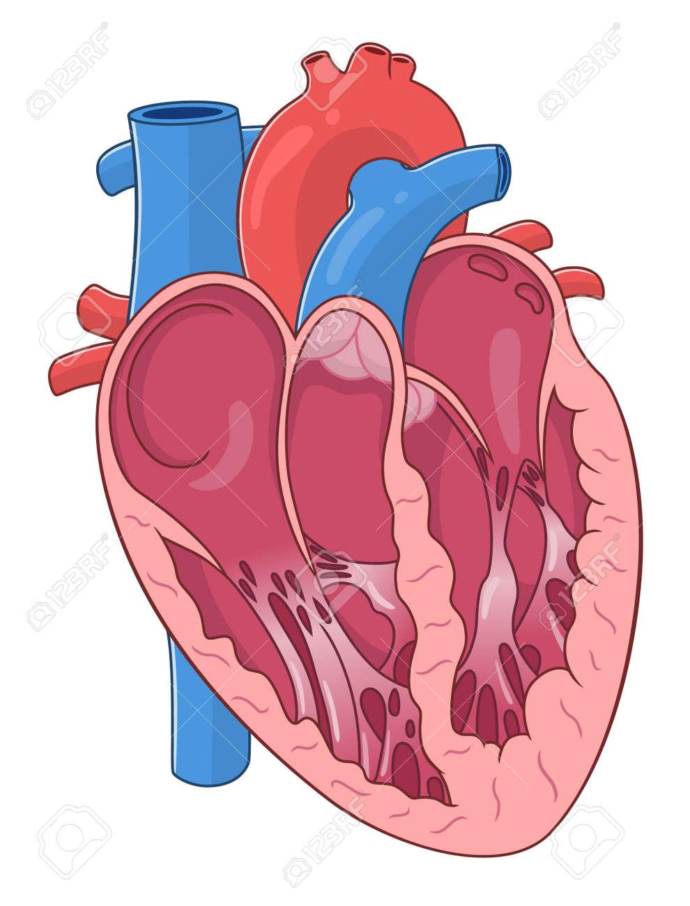 internal human heart