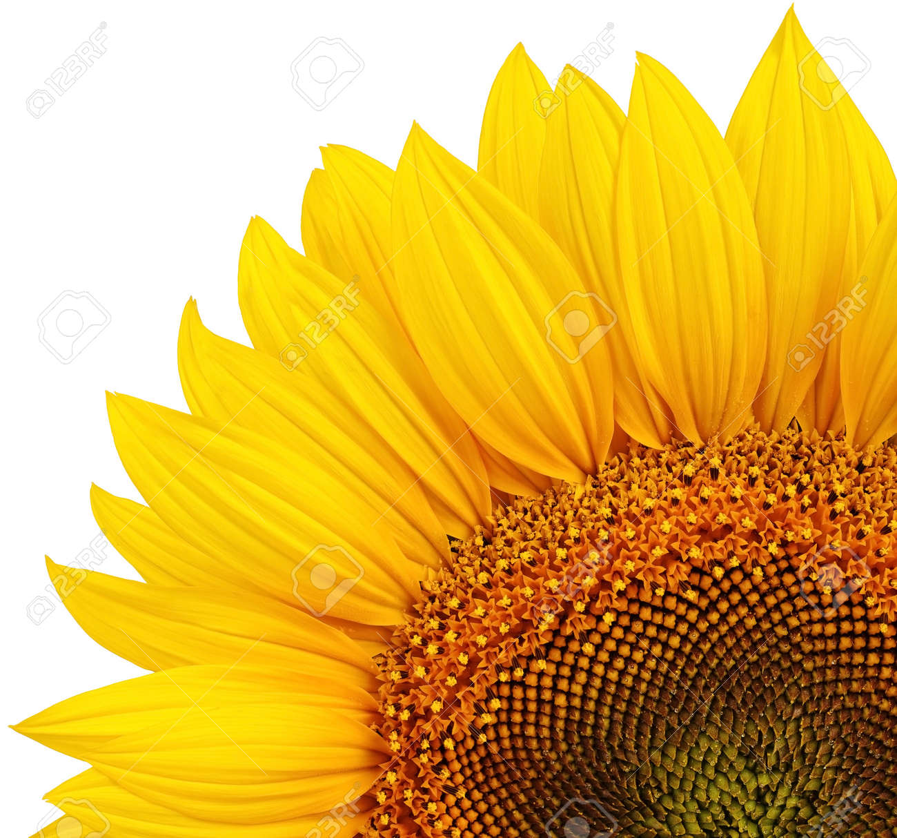 Isolated yellow sunflower Stock Photo - 17782466