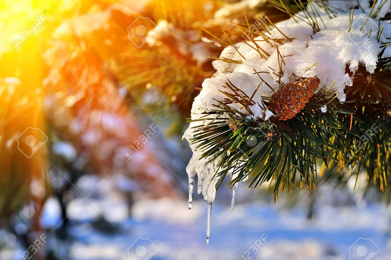 Pine branch in snow. Winter sunset in the forest. - 48326503