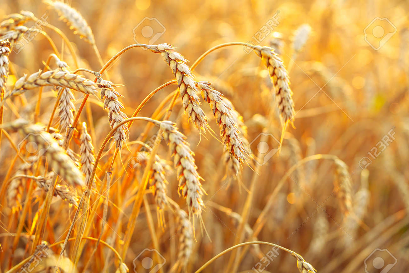 Wheat field. Ears of golden wheat. Beautiful Sunset Landscape. Background of ripening ears. Ripe cereal crop. close - 141302311