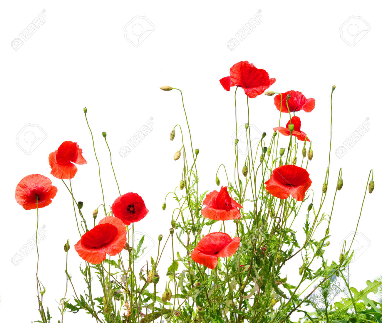 beautiful red poppies isolated on white Stock Photo - 13534746