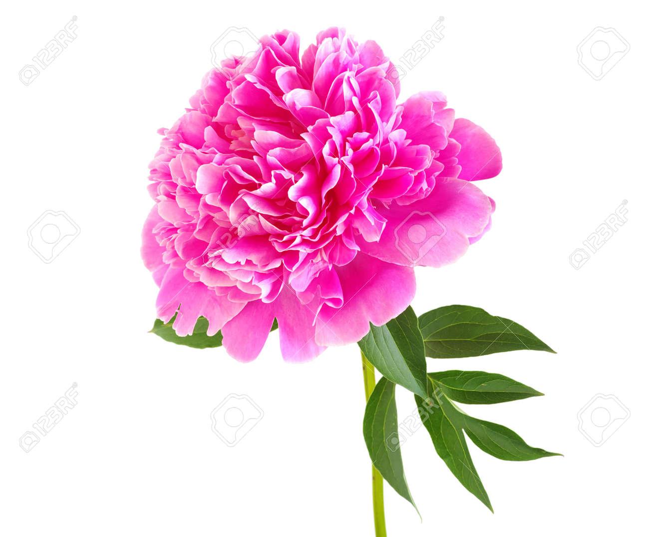 Banque d\u0027images , pivoine rose fleur isol?e sur fond blanc