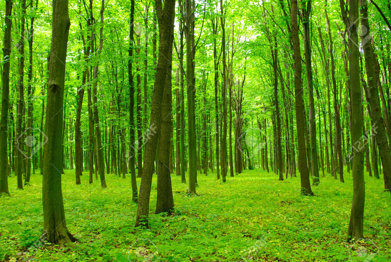 trees in a green forest in spring stock photo picture and royalty