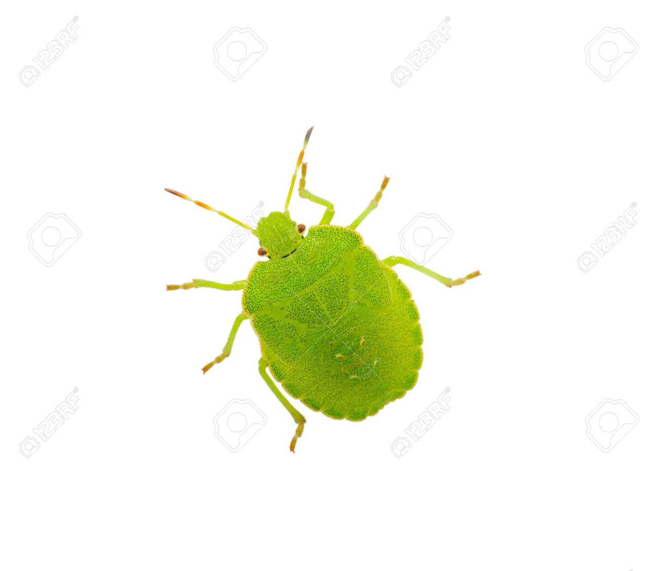 Green shield bug species Palomena prasina on white Stock Photo - 19868165