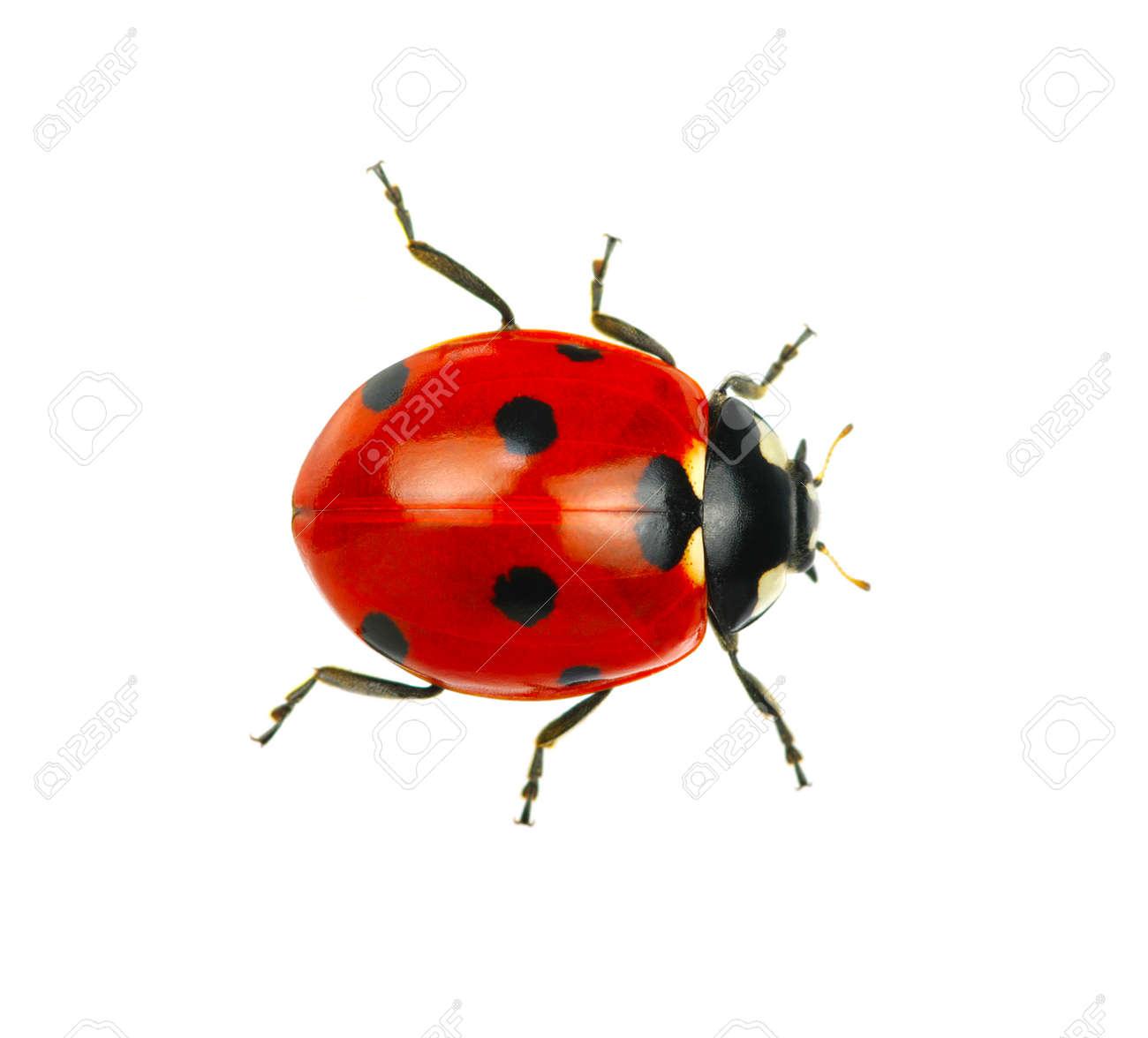 Ladybug isolated on white background - 25130597