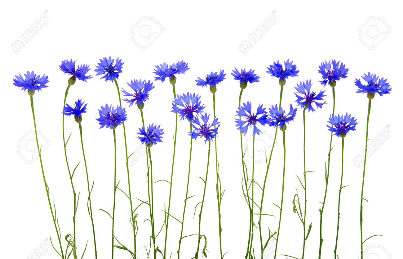blue cornflowers on white background Banque d'images - 25130687