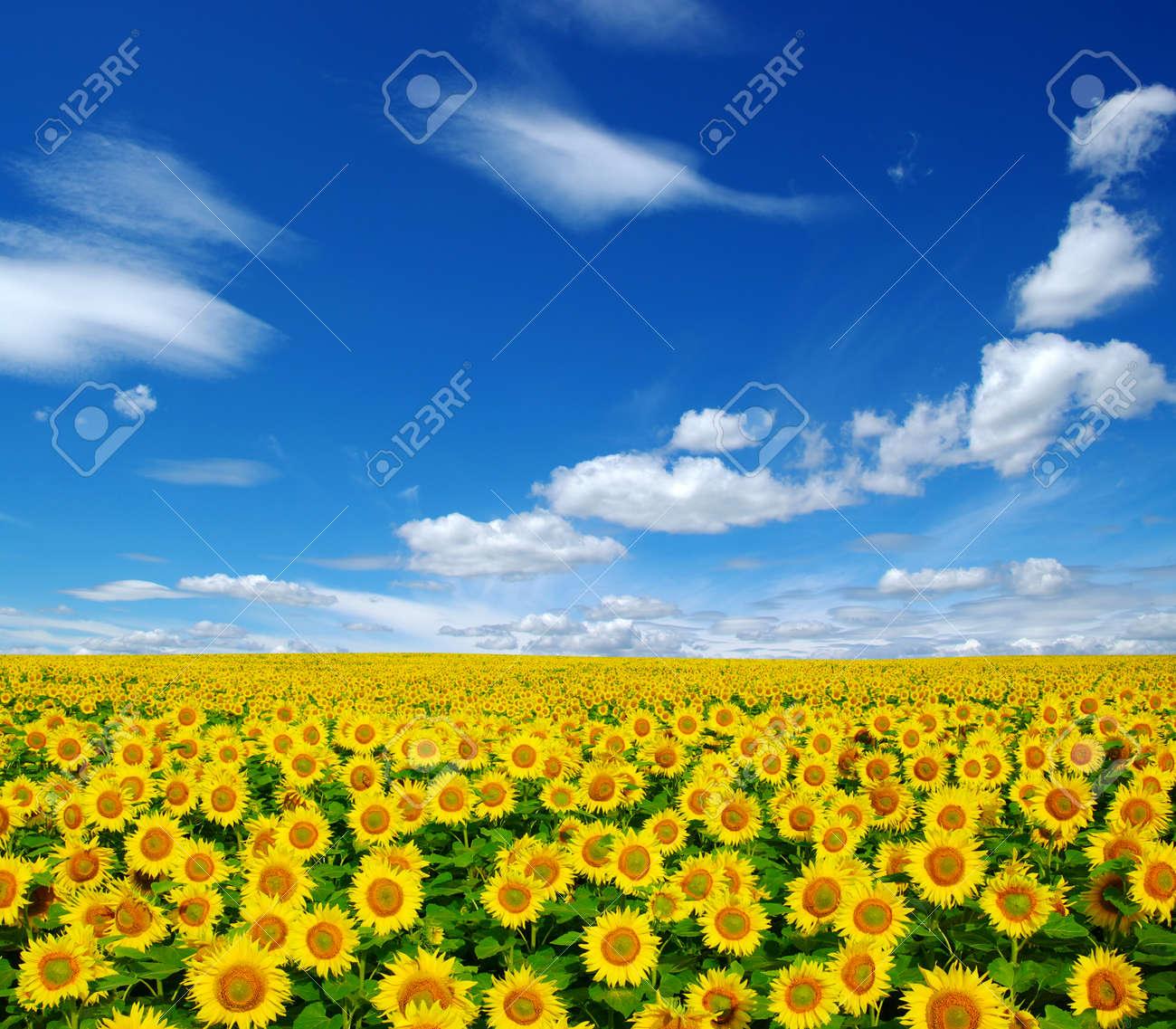 champ de tournesols sur ciel bleu nuageux Banque d'images - 26666462