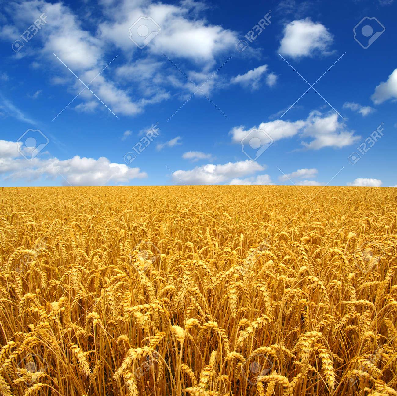 Champ de blé Banque d'images - 38870528