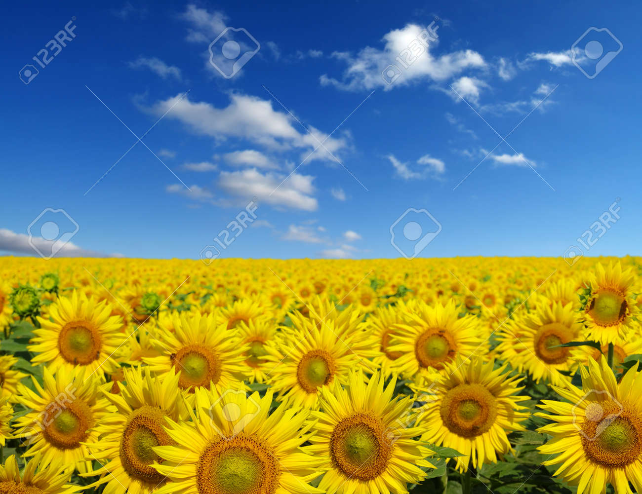 sunflowers field on sky background Banque d'images - 38899312