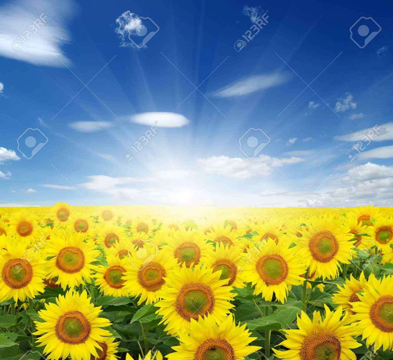 champ de tournesols et le soleil dans le ciel bleu. Banque d'images - 47832618