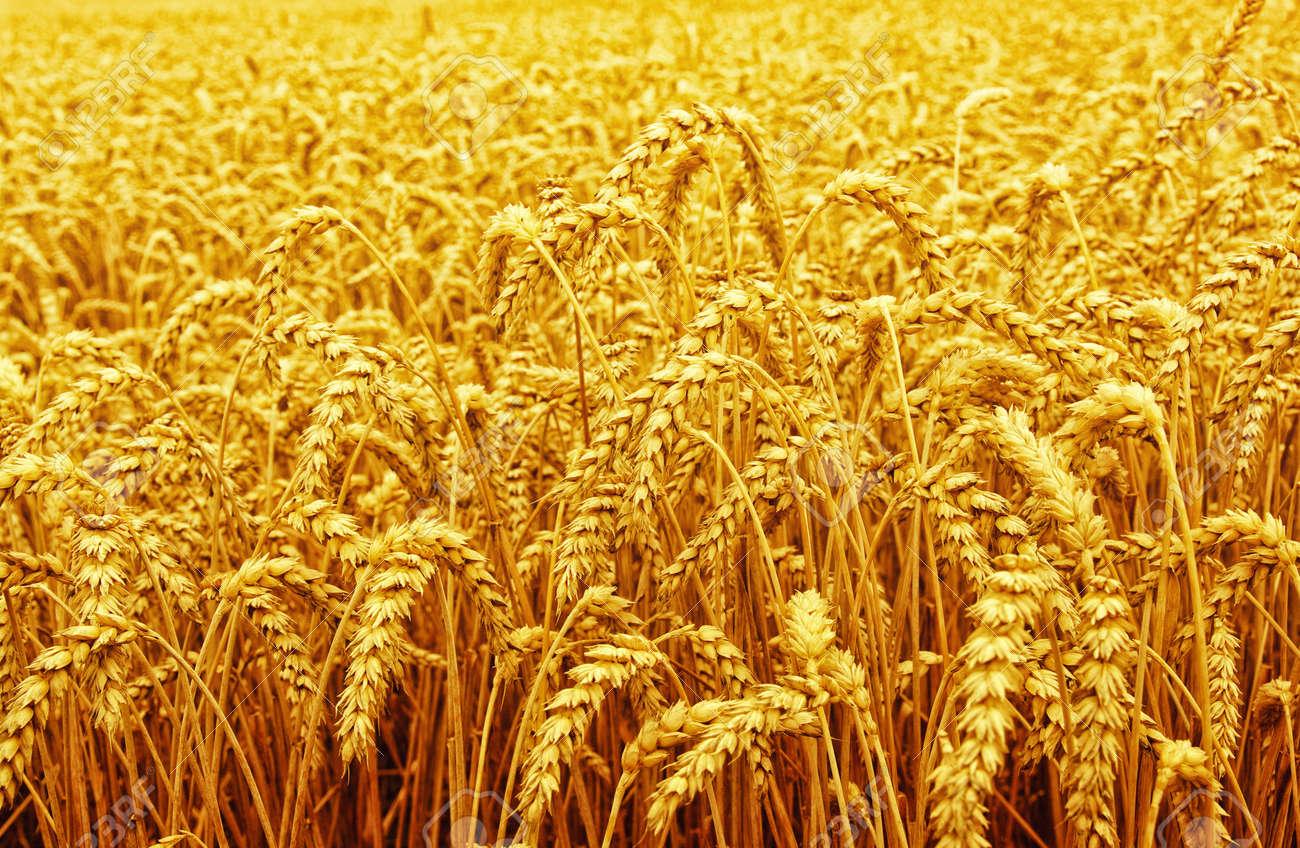 Champ de blé et soleil Banque d'images - 48564877