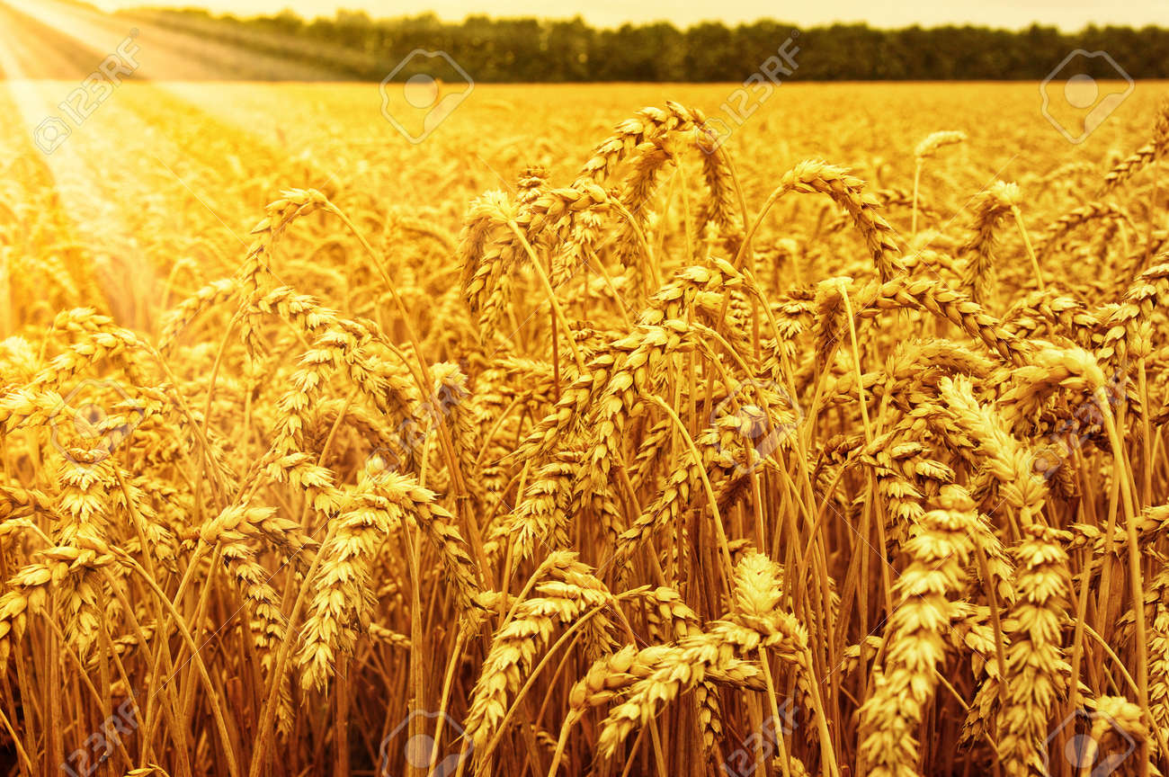Field of wheat and sun Banque d'images - 48564447
