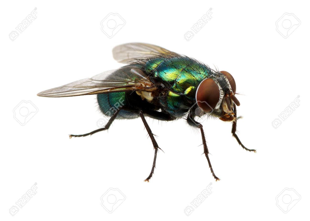 mouche verte isolé sur blanc Banque d'images - 49025342