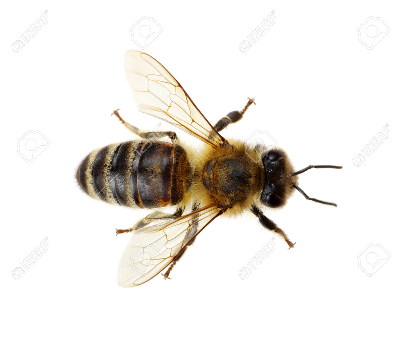 Bee isolated on the white Banque d'images - 51799534